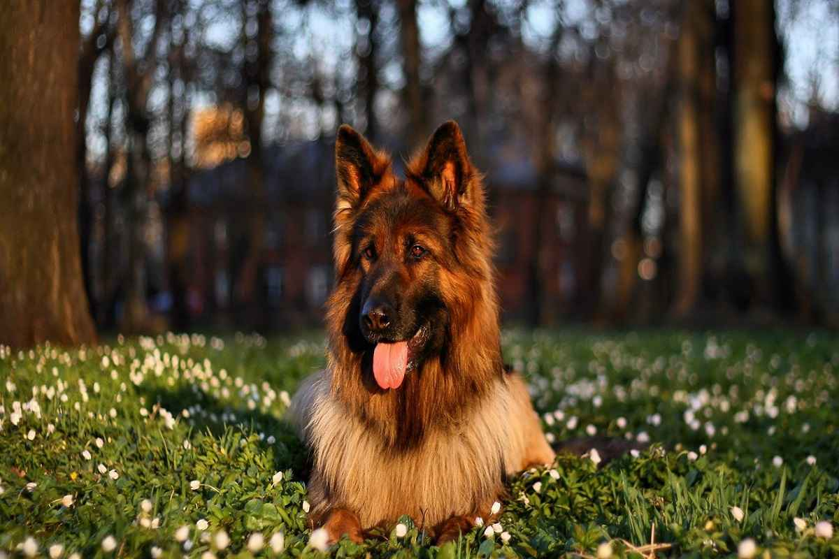 10-Most-Costly-Dog-Breeds-In-Pakistan-German-Shepherd