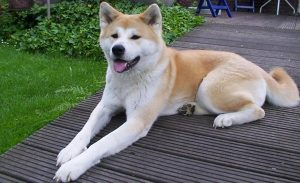 10 most costly breeds of dogs Akita
