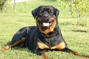 10 most costly breeds of dogs Rottweiler