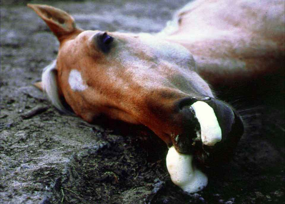 African Horse Sickness Viral Disease Of Horses
