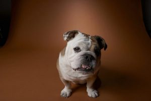 English Bulldog Degenerative Valve Disease