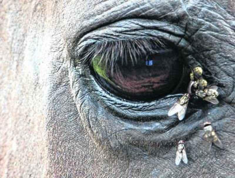 SWAMP fever in Horses (Viral disease)