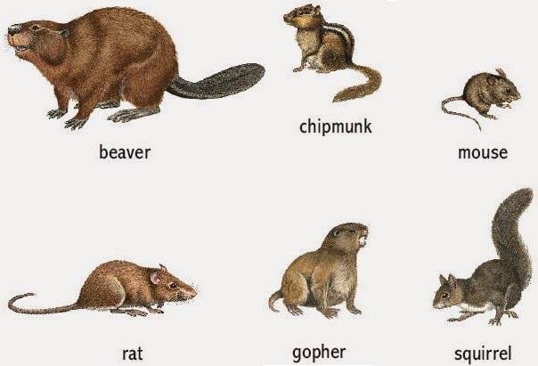 Commensal Rodents