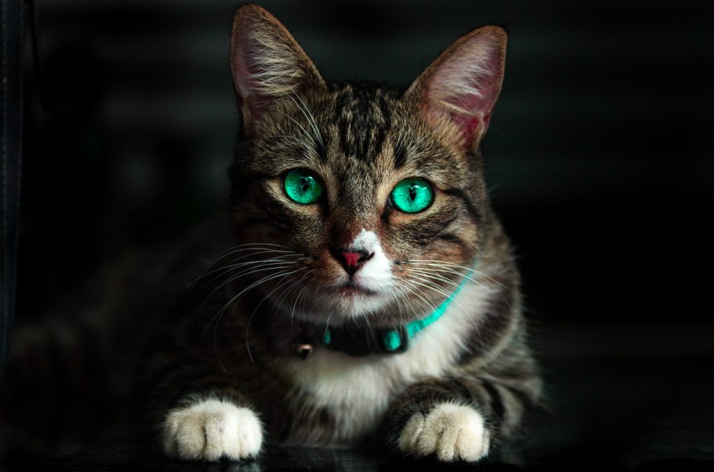 THE MOST EXPENSIVE CAT BREED IN THE WORLD