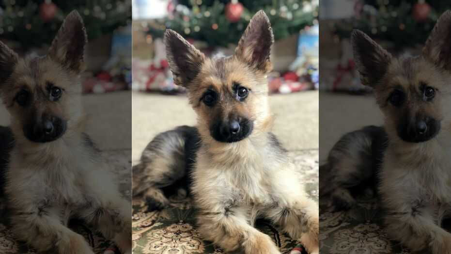 German Shepherd With Stunted Growth Due to Unique Genetic Disorder